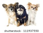 Stock photo portrait of a cute purebred chihuahuas in front of white background 111937550
