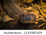 The King Cobra  Ophiophagus...