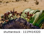 close up of female cones and... | Shutterstock . vector #1119414320