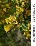 cytisus scoparius  the common... | Shutterstock . vector #1119661160