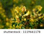 cytisus scoparius  the common... | Shutterstock . vector #1119661178