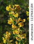 cytisus scoparius  the common... | Shutterstock . vector #1119661184