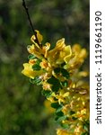 cytisus scoparius  the common... | Shutterstock . vector #1119661190