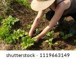 farmer woman tranplanting swiss ... | Shutterstock . vector #1119663149