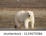 Polar bear portrait standing on land in the Arctic staring (Urus maritimus), Nunavut, Canada