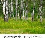 very beautiful spring birch... | Shutterstock . vector #1119677936