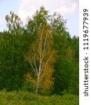 very beautiful spring birch... | Shutterstock . vector #1119677939