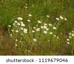 beautiful spring field daisies... | Shutterstock . vector #1119679046