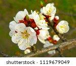 beautiful white flowers of... | Shutterstock . vector #1119679049