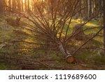 evening in the forest. fallen...   Shutterstock . vector #1119689600