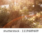 lingonberry foliage in sunset...   Shutterstock . vector #1119689609