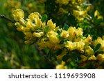 cytisus scoparius  the common... | Shutterstock . vector #1119693908