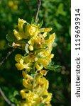 cytisus scoparius  the common... | Shutterstock . vector #1119693914