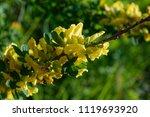 cytisus scoparius  the common... | Shutterstock . vector #1119693920