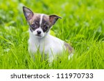 Small Puppy Chihuahua Sitting...