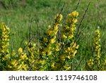 cytisus scoparius  the common... | Shutterstock . vector #1119746108