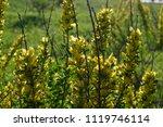 cytisus scoparius  the common... | Shutterstock . vector #1119746114