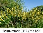 cytisus scoparius  the common... | Shutterstock . vector #1119746120