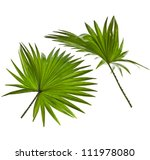 Green Palm Leaves  Livistona...