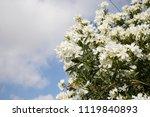 white oleanders blooming. plant ... | Shutterstock . vector #1119840893