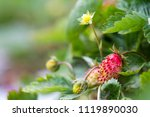 close up of strawberry bush... | Shutterstock . vector #1119890030