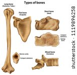 types of bones.long humerus ... | Shutterstock .eps vector #1119896258