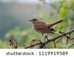 common nightingale in the shrub ... | Shutterstock . vector #1119919589