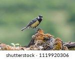 the great tit  parus major  is... | Shutterstock . vector #1119920306