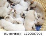 Stock photo puppy sleeping cute soft focus 1120007006