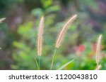 Small photo of close up of pink reeds grass with green grass background. Autumn reeds grass background texture. landscape of reeds grass background.