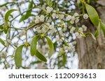 Mistletoe With White Berries...