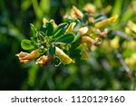 cytisus scoparius  the common... | Shutterstock . vector #1120129160