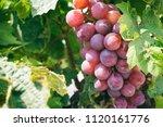 purple grape vines   Shutterstock . vector #1120161776