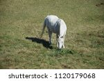 white horse at a pasture | Shutterstock . vector #1120179068