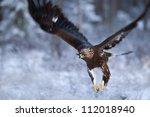 Golden Eagle Flying  Closeup
