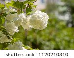 Small photo of Viburnum opulus - white snowball like flowers. The common name 'guelder rose' relates to the Dutch province of Gelderland, where a popular cultivar, the snowball tree, supposedly originated.
