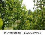 beech tree  spring beech leaf... | Shutterstock . vector #1120239983