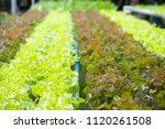 organic fresh hydroponic... | Shutterstock . vector #1120261508