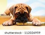 Little Puppy Bullmastiff Playe...