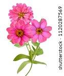 pink zinnia. seasonal  elegant   Shutterstock . vector #1120287569