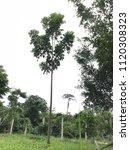 mahogany tree ages 2 years | Shutterstock . vector #1120308323