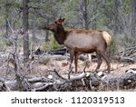 elk in the forest of grand...   Shutterstock . vector #1120319513