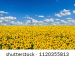 Field Of Yellow Sunflowers...