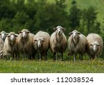 A Flock Of Sheep Grazes On A...