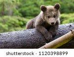 Brown Bear Cub Baby Sitting On...