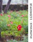 anemone coronaria  the poppy... | Shutterstock . vector #1120403918