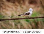 an elegant scissor tailed... | Shutterstock . vector #1120420400