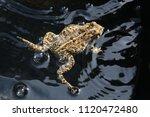 toad in water | Shutterstock . vector #1120472480