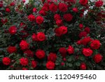 Stock photo beautiful fresh roses in nature natural background large inflorescence of roses on a garden bush 1120495460