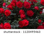beautiful fresh roses in nature.... | Shutterstock . vector #1120495463
